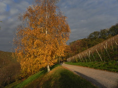 Entre soleil et arbre (recto) (Edouard55) Tags: autumn tree automne germany deutschland camino path herbst vineyards rbol sentiero albero allemagne arbre schwarzwald blackforest baum sentier weg cada caduta fortnoire ortenau durbach badnerland