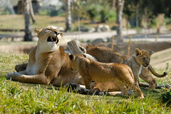 Lioness & cubs at Wild Animal Park in Escondido-75 2-12-08
