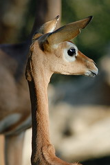 Gerenuk at Wild Animal Park in Escondido-04 12-17-07