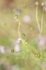 cosmos dream #1 (fl*clover) Tags: flowers plants zeiss nikon bokeh cosmos planar 80mm carlzeiss   nikond5000