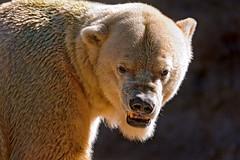 Polar bear in the sun (Tambako the Jaguar) Tags: bear portrait sun black face backlight germany munich mnchen zoo nikon polarbear tierpark hellabrunn d700