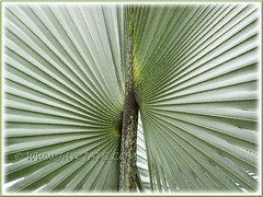 Bismarckia nobilis (Bismark/Bismarck Palm): focus on the costapalmate region