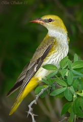 Eurasian Golden Oriole  -  () Tags: bird birds golden bin sultan eurasian qatar oriole  birdwatchers