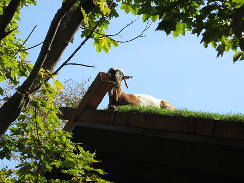 goat basking in the sun