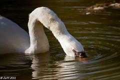 Cygne blanc (Jeff-Photo) Tags: white nature animal canon swan blanc oiseau cygne oiseaux cigne faune pleinair 50d flickraward