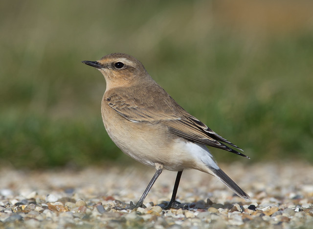 wheatear afternoon 300mm on gravel