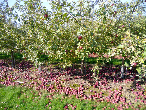 Wisconsin Apple Orchard