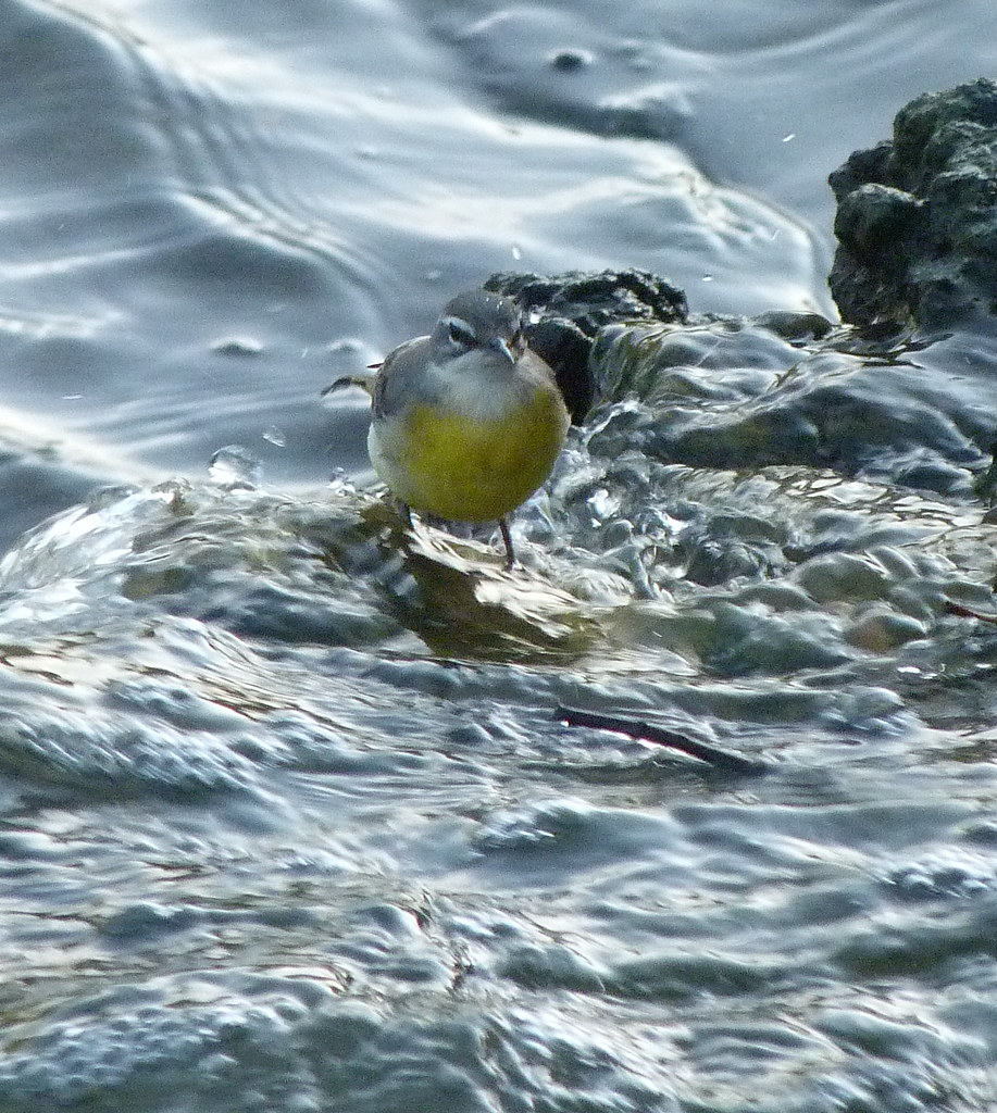 15-10-2011-yellow-wagtail2