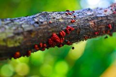 naxtura parasita (rul!photoart) Tags: light naturaleza verde green luz peru southamerica nature amazon plantas selva textures jungle latinoamerica texturas amazonas jungla