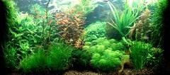 Nederlands aquarium (Aquascaping-blog.com) Tags: kleurcontrast nederlandsaquarium hollandsebak