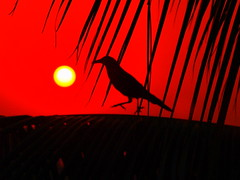 Crow on Branch of Coconut Tree during Sunrise - #19102011- PA194418C (photographic Collection) Tags: red sky sun india black tree sunrise walking coconut oct olympus photographic collection ap coconuttree e300 crow rise hyderabad andhra 19th pradesh evolt andhrapradesh 2011 sarma blackcrow firy kalluri spiritofphotography photographiccollection bheemeswara bheemeswarasarmakalluri