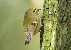 Goldcrest - (Regulus regulus) (Howard's Flickr Birdspot.) Tags: wild bird nature beautiful beauty birds gold wildlife crest best lincolnshire explore regulus avian goldcrest passeriformes passerine regulusregulus supershot explored muscicapidae flickrelite theworldsbestgoldcrestphoto
