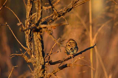 Sparrow DSC_4863