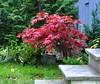 Osakazuki (Martin Ystenes - hei.cc) Tags: autumn norway norge maple momiji acer trondheim sørtrøndelag høst palmatum trøndelag osakazuki lønn høstfarge ystenes viftelønn martinystenes