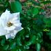 アスピリン ローズ(Aspirin Rose)