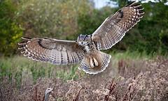 Eagle-owl (Trevor Hodgetts) Tags: england feet birds canon fan eyes focus eagle tail flight feathers ears landing owl 5d trevorhodgetts
