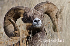 Bighorn Sheep, Wildhorse Island