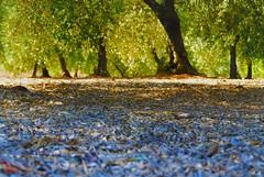 Tiempo de aceitunas. (Dumitru Mihai) Tags: life green nature leaves olives aceitunas olivos