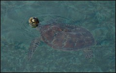 Turtle (Opiesse) Tags: ocean sea green marina island turtle great australia queensland reef tartaruga ops borderfx opiesse