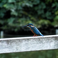 Common Kingfisher in Fudoh-Pond (3/3) (macpapaja) Tags: wild bird nature square casio exf1