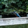 Common Kingfisher in Fudoh-Pond (3/3) (macpapaja) Tags: wild bird nature square casio exf1