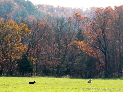 Rounding up the sheep surrounded by autumn color 4 - FarmgirlFare.com