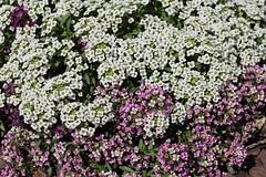 Sweet Alyssum flowers (ali_gata1970) Tags: flowers white plant nature garden sweetalyssum puprle