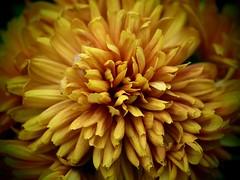 Pinhole Mum (saxonfenken) Tags: flower macro yellow dof pinhole bigmomma gamewinner 6965 challengewinner 5thoct chysantheum storybookwinner pregamewinner 6965flower