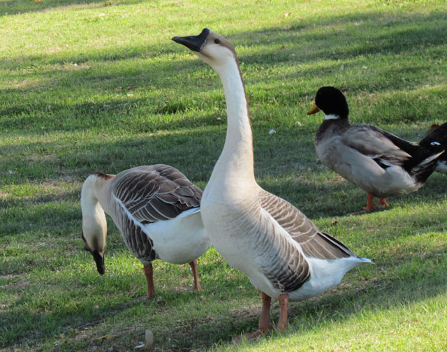 geese resized