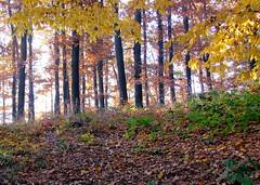 bágyadtság / languor (debreczeniemoke) Tags: autumn fall forest colorful ősz erdő languor színes canonpowershotsx20is bágyadtság