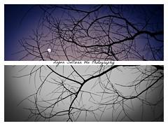 但愿, 月上柳梢头, 人约黄昏后 (Sullivan Wu Liyun/ Ng Laiwan) Tags: china trees moon silhouette diptych tears silhouettes willow memory hangzhou sullivan 2010 月上柳梢头人约黄昏后 sullivanng laiwanng nglaiwan wuliyun liyunwu