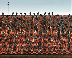 Pigeon Convention (Aerogami.com) Tags: roof rooftop birds canon eos texas mark pigeon pigeons flock ii convention 5d pampa