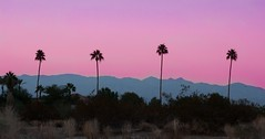 """""""All it's cracked up to be"""" (Sinad McKeown) Tags: california pink trees sunset mountains silhouette palmsprings palmtrees 365 pinksky project365 365project"""