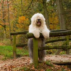 Autumn geetings  * explore * (dewollewei) Tags: old autumn dog english sheepdog herfst bobtail oes oldenglishsheepdog madeingermany sweetexpressions dewollewei