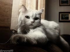 Branquelinha (rvcroffi) Tags: pet cats white cute branco cat kitten gato gata felino branca iphone iphoneography
