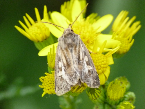 Antler Moth (Cerapteryx graminis) by Peter Orchard