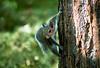 Grey Squirrel (mjkjr) Tags: park atlanta canon ga georgia path atl wildlife piedmontpark f4 telephotolens 200mm treecanopy ef70200mmf4lusm 60d canon60d kendedacanopywalk mjkjr httpwwwflickrcomphotosmjkjr
