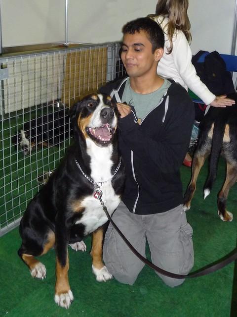 Great Swiss Mountain Dog