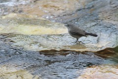 João-pobre (Daniel Samonte) Tags: aves da serra pássaros canastra danielsilvasantos estanciadefurnas danielsamonte