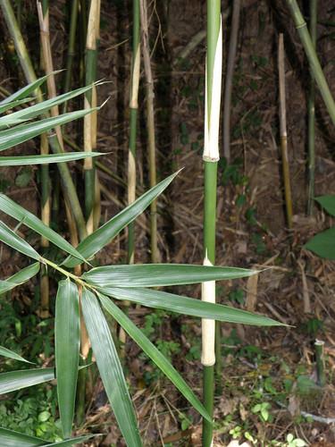 Arundinaria gigantea (giant rivercane)