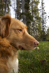 Ranger's Profile (MichelleLegere) Tags: pink red dog sun canada tree grass outside nose ranger ns handsome canine yukon snout outofdoors canid nsdt novascotiabucktollingretriever