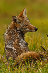 Pouting Coyote (paultnature) Tags: nature canon wildlife predators coyotes ridgefieldwildliferefuge 40d nationalwildliferefuges rfwlr 500mmlis wolvescoyotefoxes