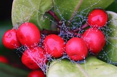 Jewelled Berries (alphazeta) Tags: autumn red wet berries web waterdrops bejewelled