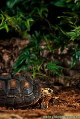 (SolarTempest) Tags: red club solar photo nikon kevin iii tortoise chan d200 tempest mississauga softbox cls lastolite reptilia sb800 footed lumiquest strobist sb900 ezybox solartempest photographysolartempestnet