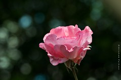 The world is a rose; smell it and pass it to your friends. (puthoOr photOgraphy) Tags: flower rose rosebud dk lightroom rosemacro roseflower d90 adobelightroom tokina100mm28 nikond90 tokina100mmf28atxprod lightroom3 amazingqatar puthoor puthoorphotography