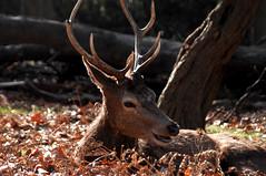 cheekie chappy deer (zoeallen46) Tags: london happy deer smiley britishwildlife reddeer richmondpark funnyanimals nikond2x distinguisheddeer spring2012 zoeallen46 reddeerinrichmond cheekiechappy