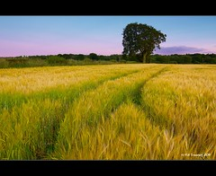 Sunset Tree (Kit Downey) Tags: sunset summer tractor tree green field barley yellow canon lens landscape eos rebel scotland angle farm wheat seasonal wide tracks july scottish super farmland tokina lone late kit hay f28 falkirk downey 2011 550d impressedbeauty t2i 1116mm