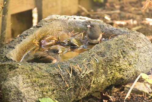 Juncos Bathing