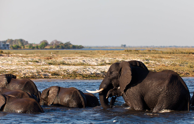 Elephant herd swimming across Chobe river