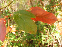 Sassafras Leaf - Mitten (Fleur-de-louis) Tags: autumn red usa color green fall colors leaves leaf shaped kentucky ky changing shape mitten chaplin bloomfield sasafrass bilobed